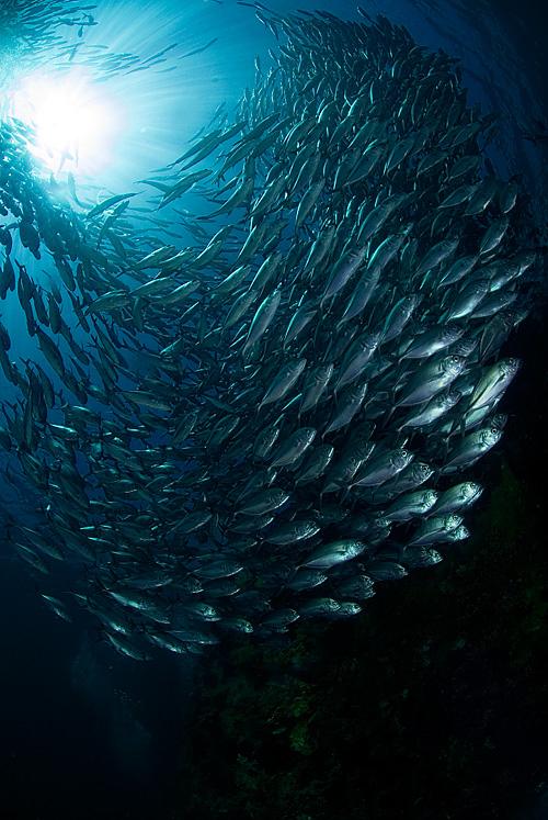 Свет сквозь море, косяк рыб