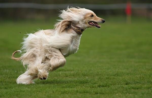 собака бодро мчится навстречу ветру, развивается шерсть