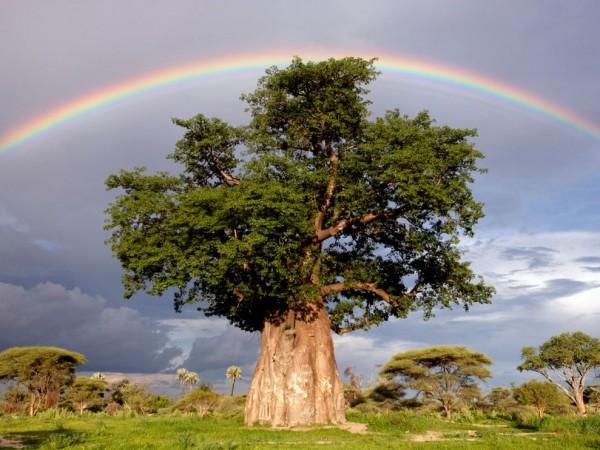 Красивое, огромное дерево под радугой