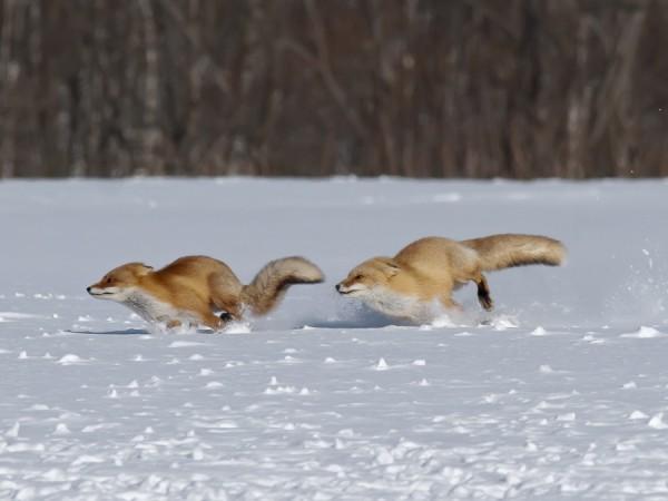 Бег лисиц по снегу (воодушевление, энтузиазм)