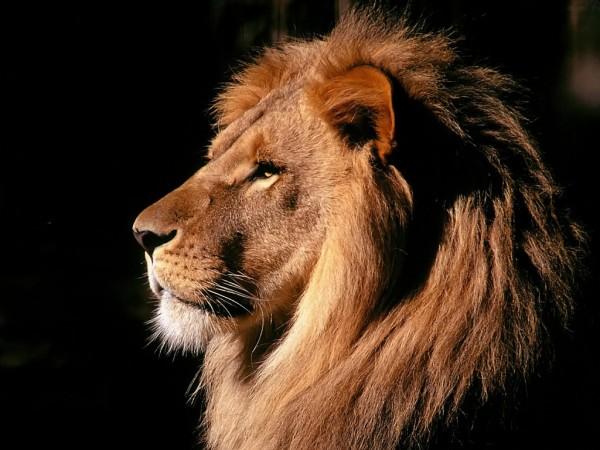 Лев - царь зверей (уверенность в картинках)