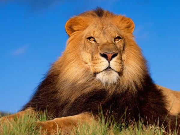 Лев - Царственный