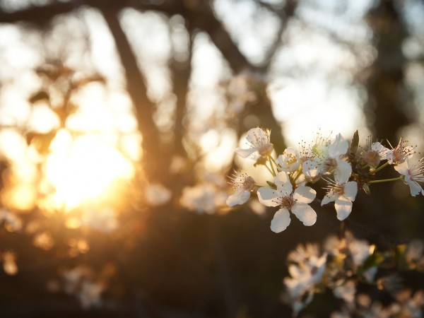 Вишня на нежном солнце