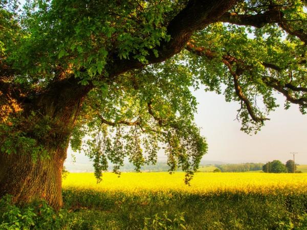 Умиротворяющий пейзаж, большая крона дерева у золотистого поля