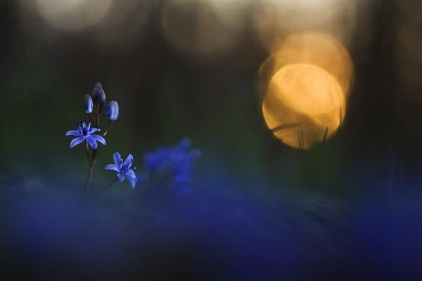 Василек, синий цветок на закате, солнце, трава